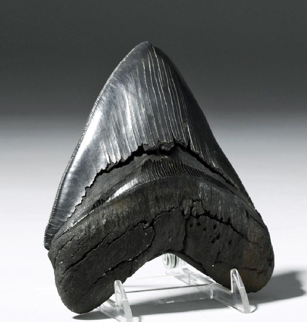 """Massive Fossilized Megalodon Tooth - 6""""H! - 2"""