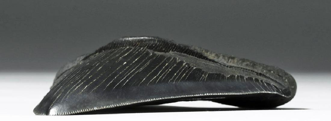 """Massive Fossilized Megalodon Tooth - 6""""H! - 5"""