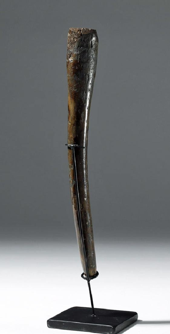 Partially Fossilized Walrus Baculum (Oosik) - 3