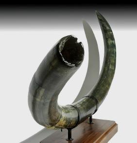 Huge Blue Mammoth Tusk from Alaska - Over Six Feet Long