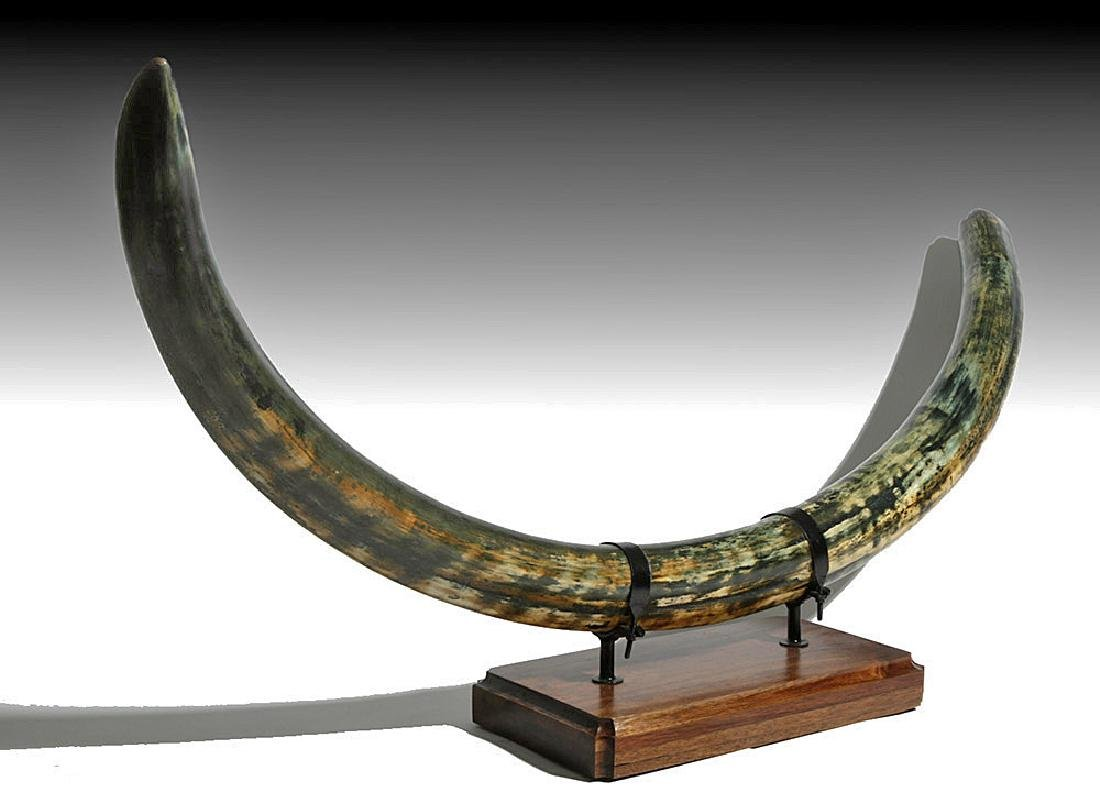 Huge Blue Mammoth Tusk from Alaska - Over Six Feet Long - 3
