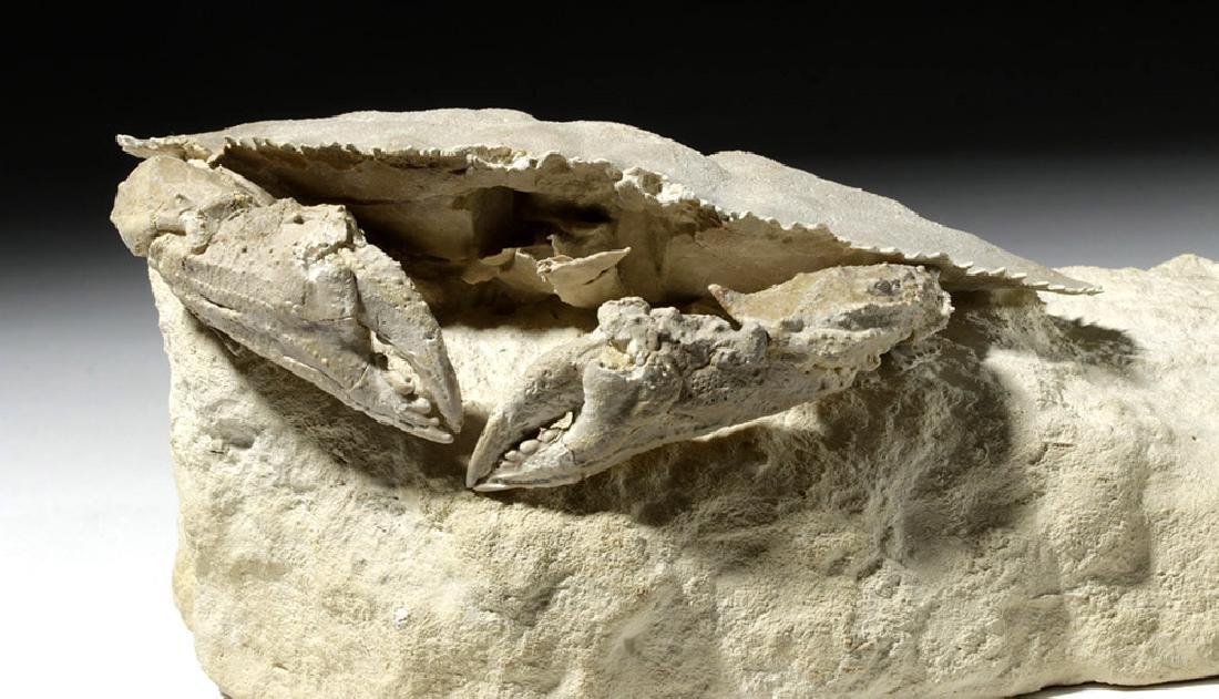 Impressive Harpactocarcinus Crab Fossil