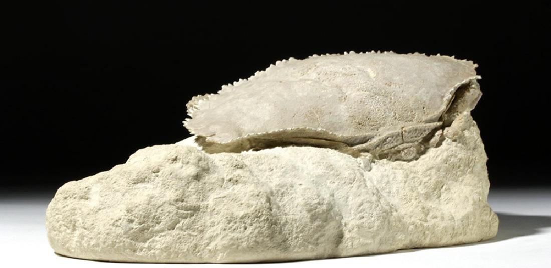 Impressive Harpactocarcinus Crab Fossil - 2