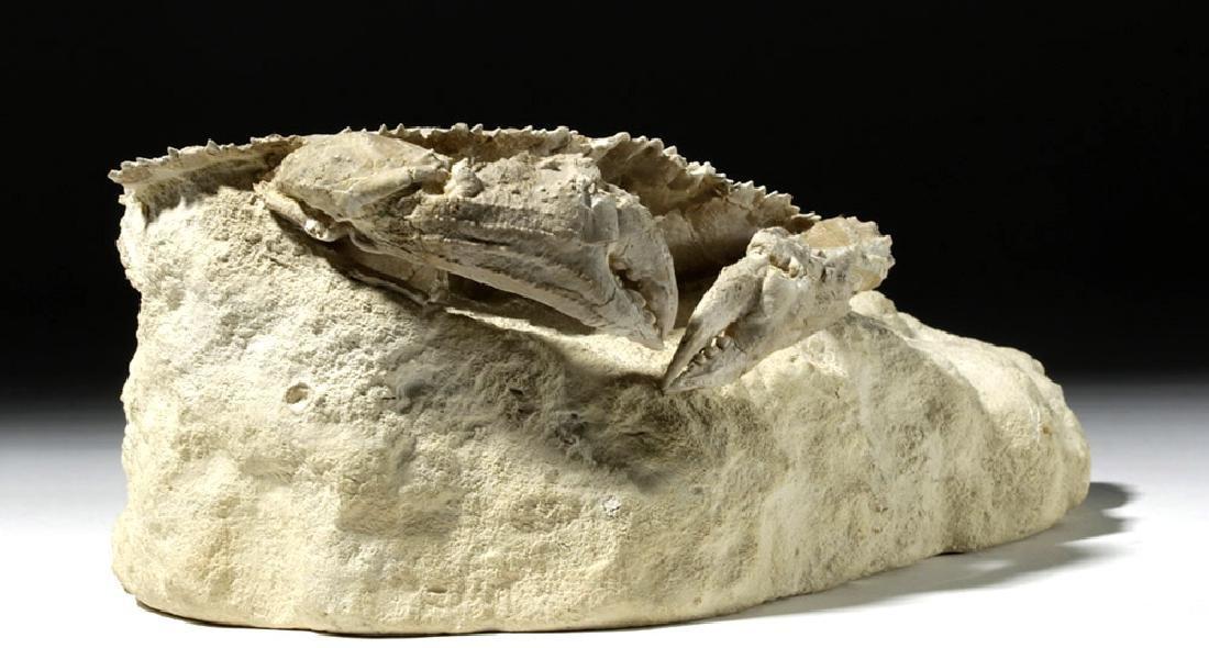 Impressive Harpactocarcinus Crab Fossil - 4