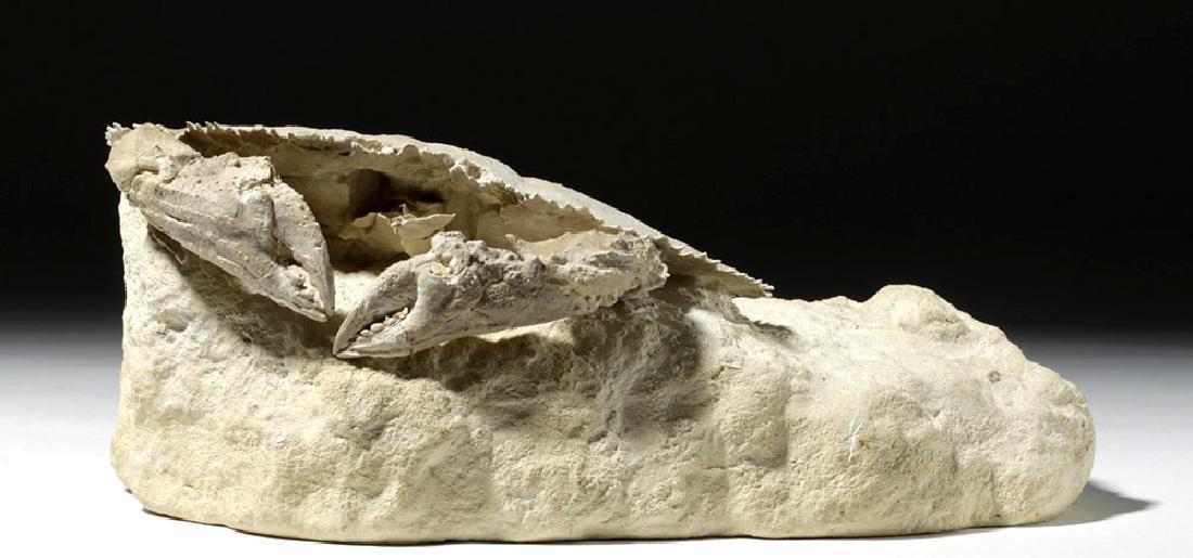 Impressive Harpactocarcinus Crab Fossil - 5