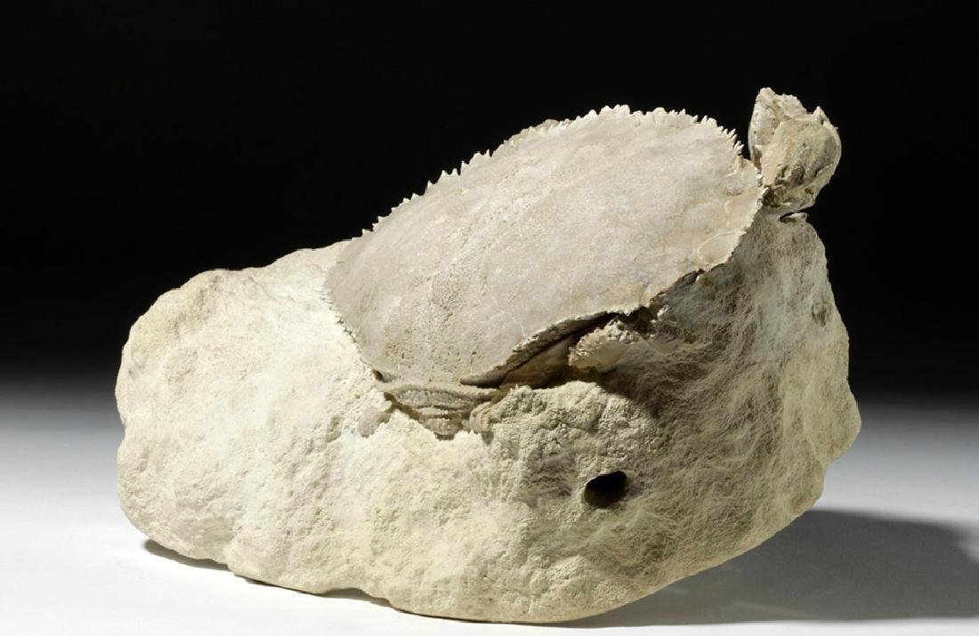 Impressive Harpactocarcinus Crab Fossil - 7