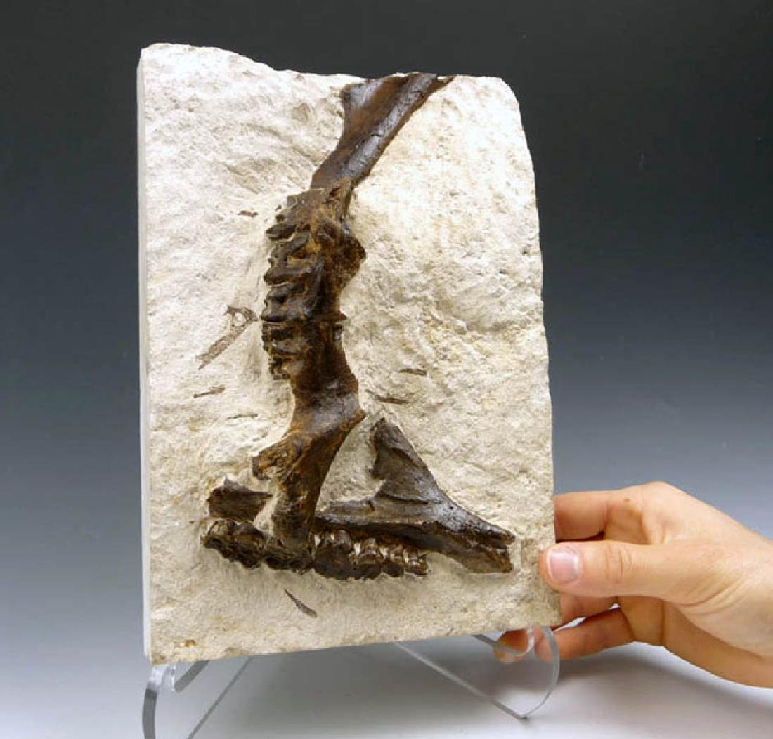 Eocene Plagiolophus Primitive Three-Toed Horse Maxillae