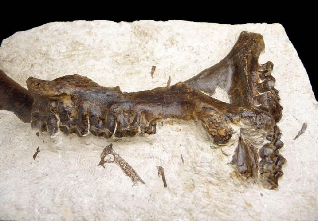 Eocene Plagiolophus Primitive Three-Toed Horse Maxillae - 3