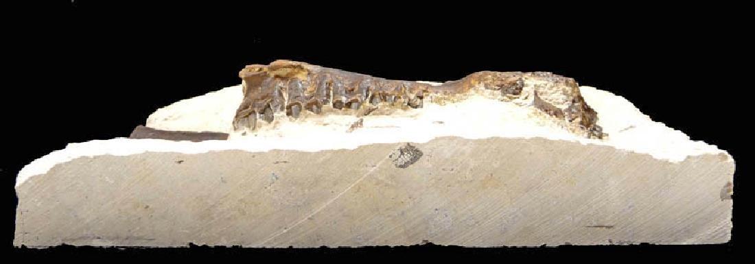 Eocene Plagiolophus Primitive Three-Toed Horse Maxillae - 4