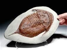 Morocco Ordovician Trilobite Fossil