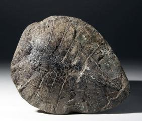 Large Fossilized Turtle Shell - Eocene Period