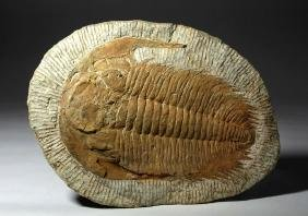 Large Morrocan Asaphellus Fossilized Trilobite