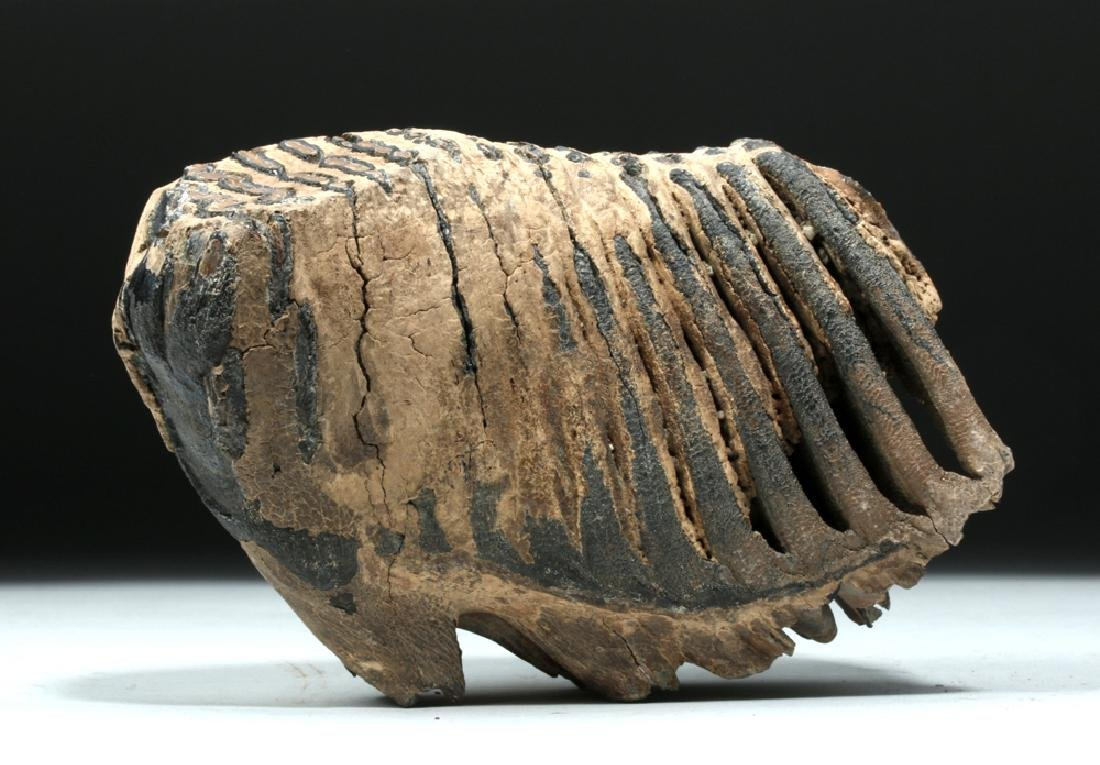 Juvenile Mammoth Tooth w/ Root Structure