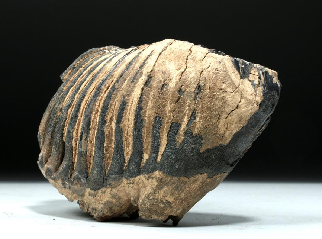 Juvenile Mammoth Tooth w/ Root Structure - 3