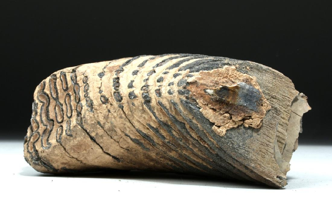 Juvenile Mammoth Tooth w/ Root Structure - 5