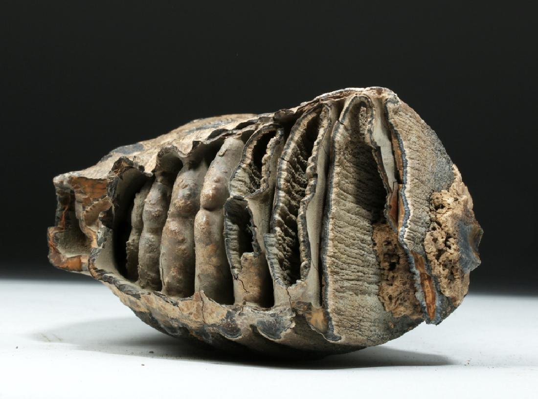 Juvenile Mammoth Tooth w/ Root Structure - 6