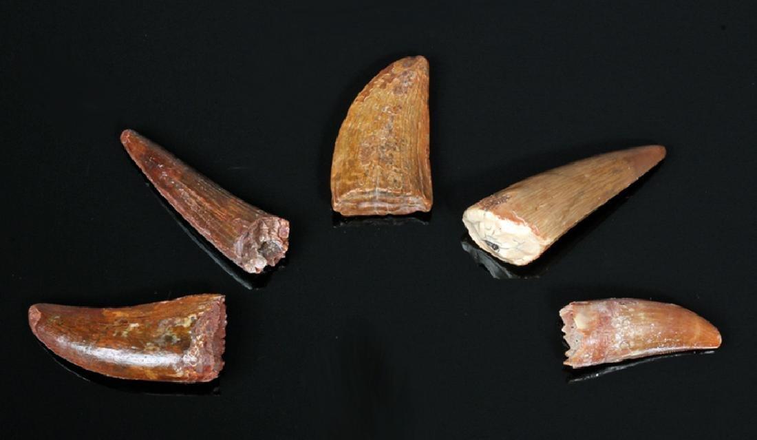 5 Carcharodontosaurus / Spinosaurid Dinosaur Teeth