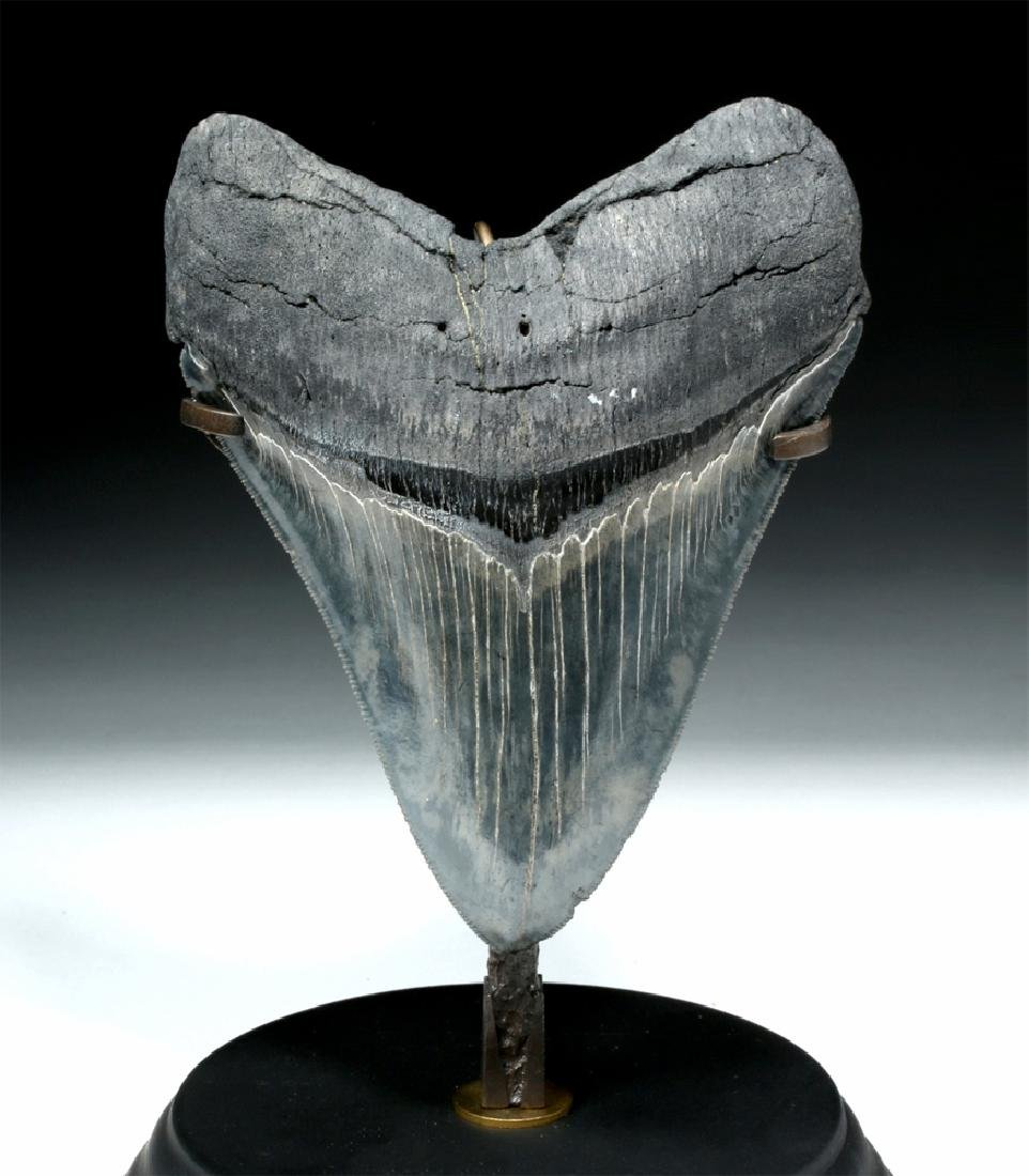 Gorgeous Large Megalodon Shark Tooth