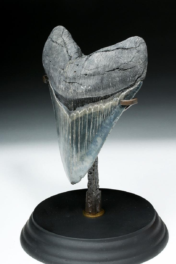 Gorgeous Large Megalodon Shark Tooth - 2