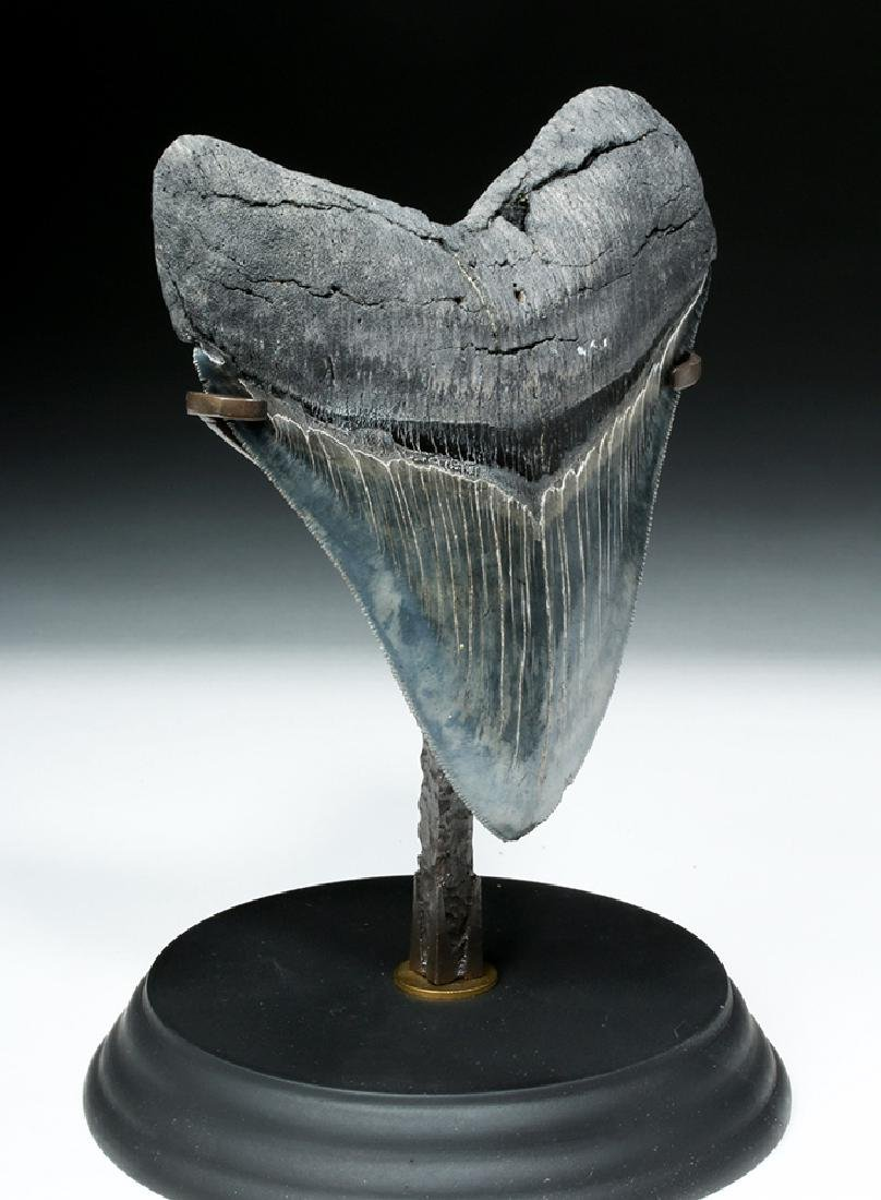 Gorgeous Large Megalodon Shark Tooth - 5