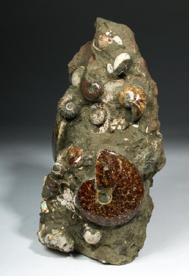 Fossilized Madagascar Ammonite Fossil Group - 2