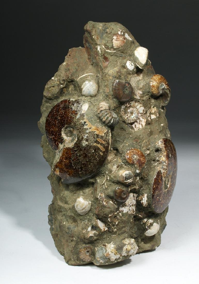 Fossilized Madagascar Ammonite Fossil Group - 5