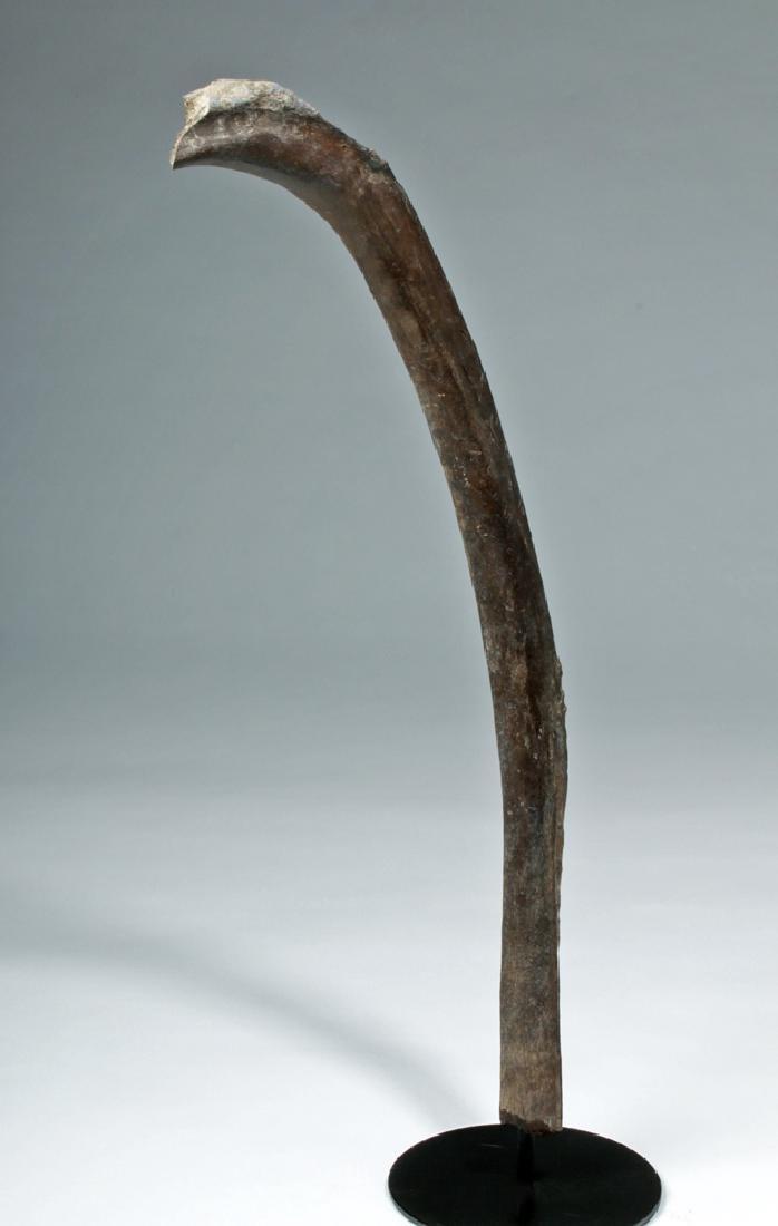 """Late Pleistocene Alaskan Mammoth Rib - 30""""L"""
