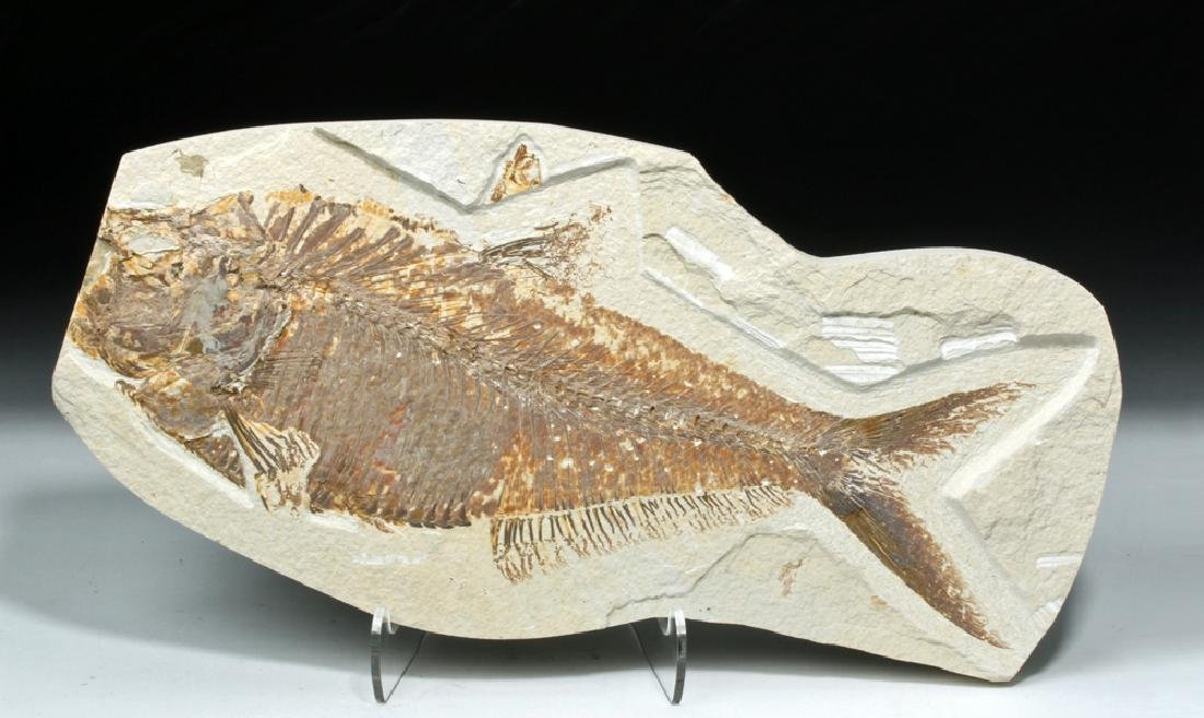 Eocene Period Fossil Fish - Diplomystus