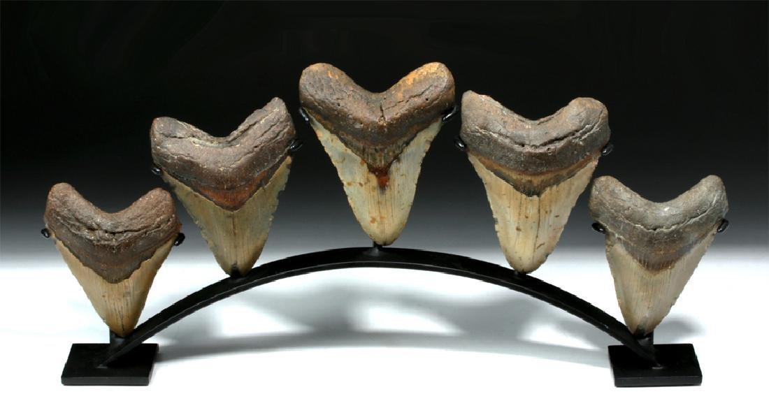 Five Huge Megalodon Shark Teeth on Custom Stand
