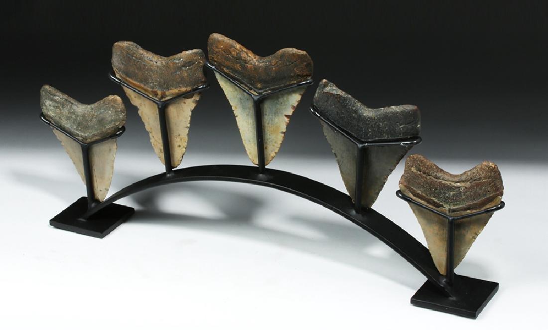 Five Huge Megalodon Shark Teeth on Custom Stand - 4