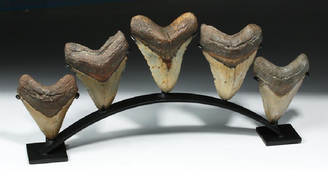 Five Huge Megalodon Shark Teeth on Custom Stand - 5
