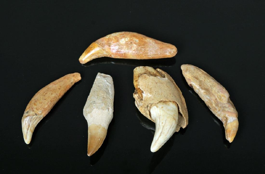 Lot of 5 Fossilized Cave Bear & Mosasaur Teeth