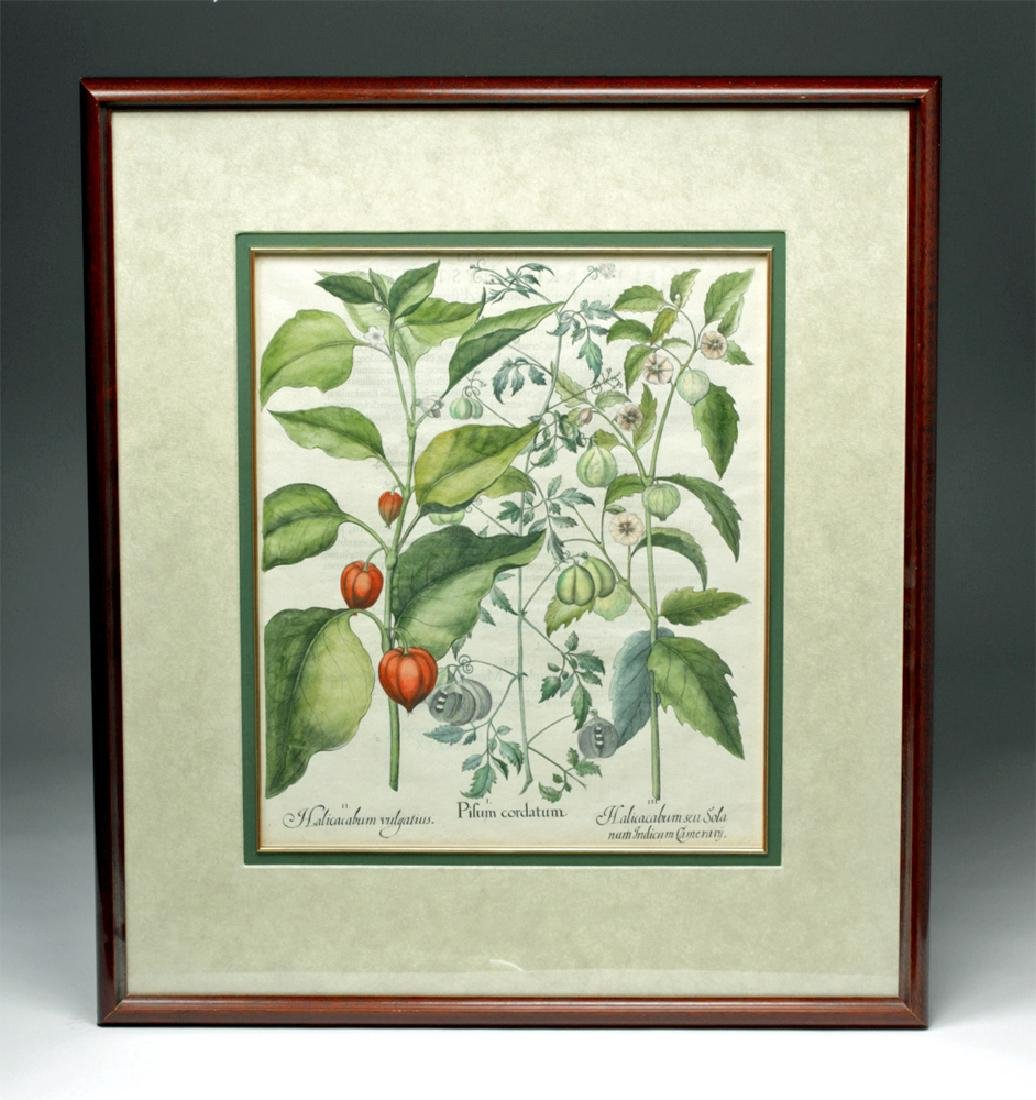 Besler Botanical Hand Colored Engraving, 1613
