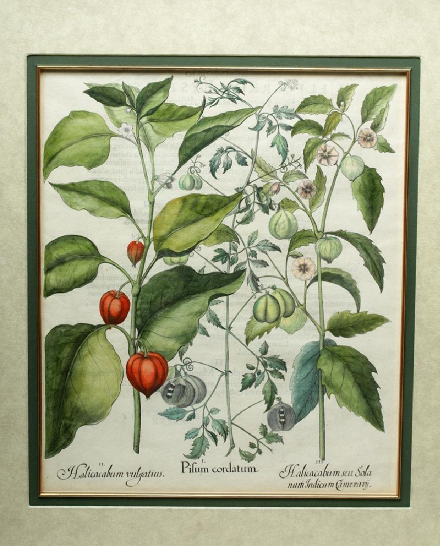 Besler Botanical Hand Colored Engraving, 1613 - 2