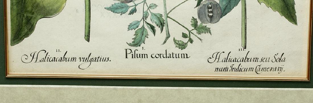 Besler Botanical Hand Colored Engraving, 1613 - 3