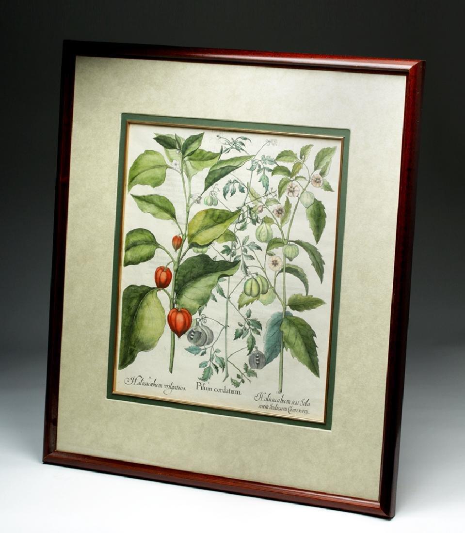 Besler Botanical Hand Colored Engraving, 1613 - 4