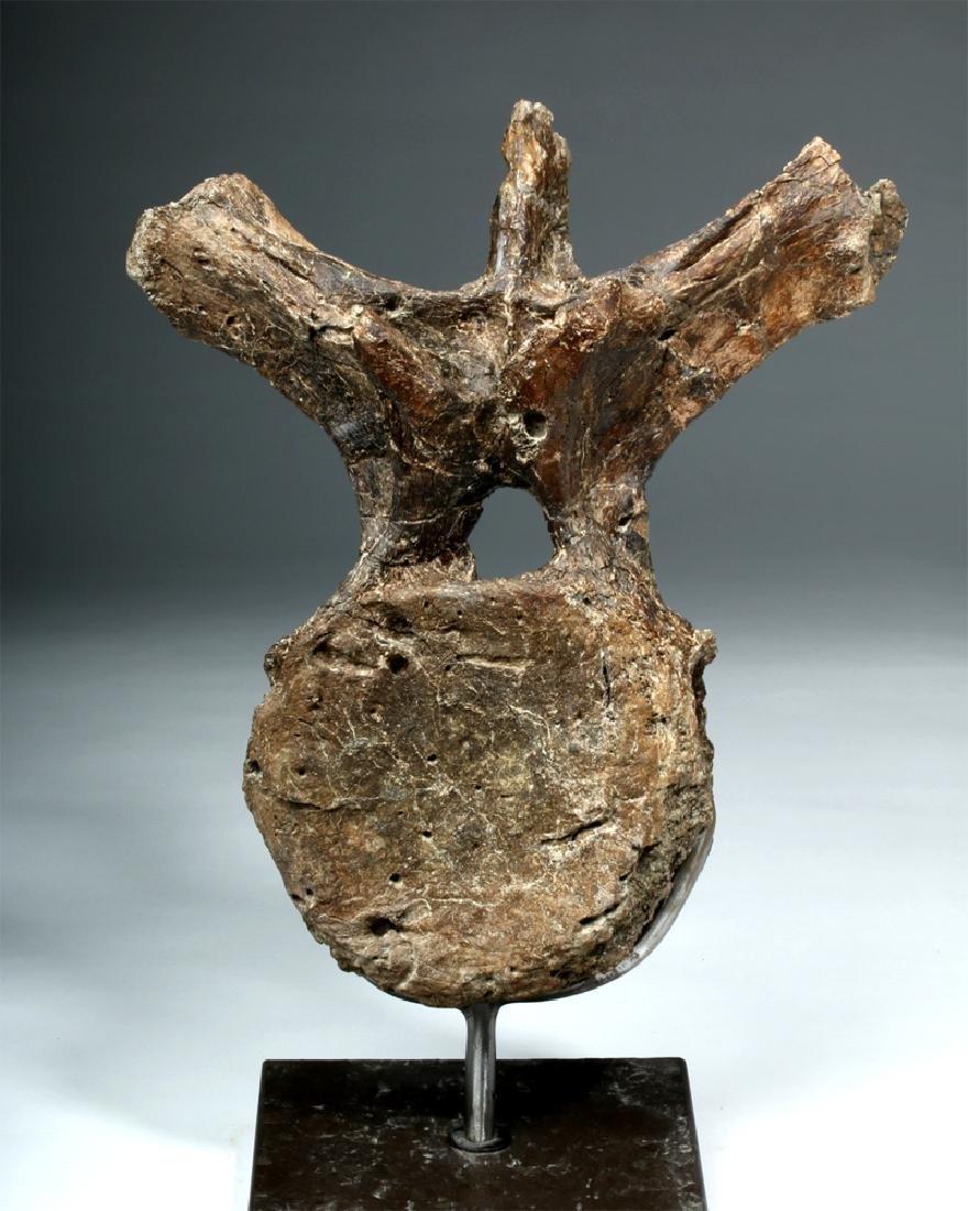 Complete Triceratops Dinosaur Spinal Vertebrae