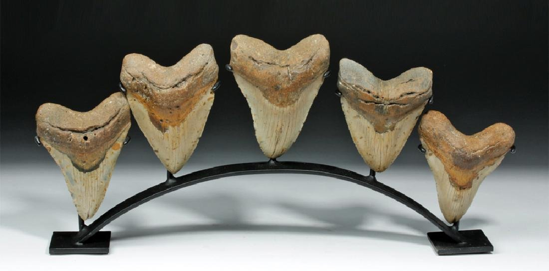 5 Fossilized Megalodon Teeth on a Custom Stand