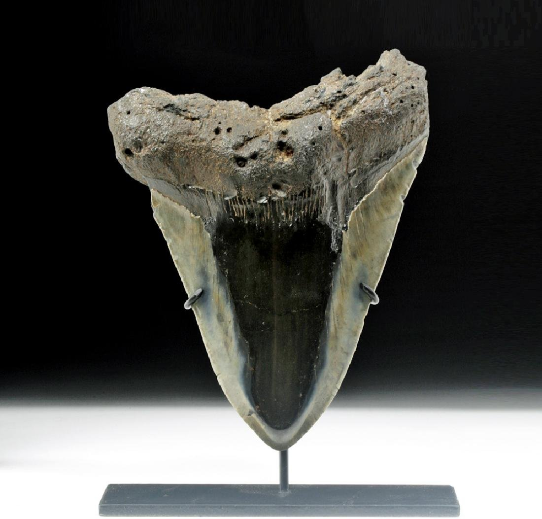 Large / Fine Fossilized Megalodon Tooth