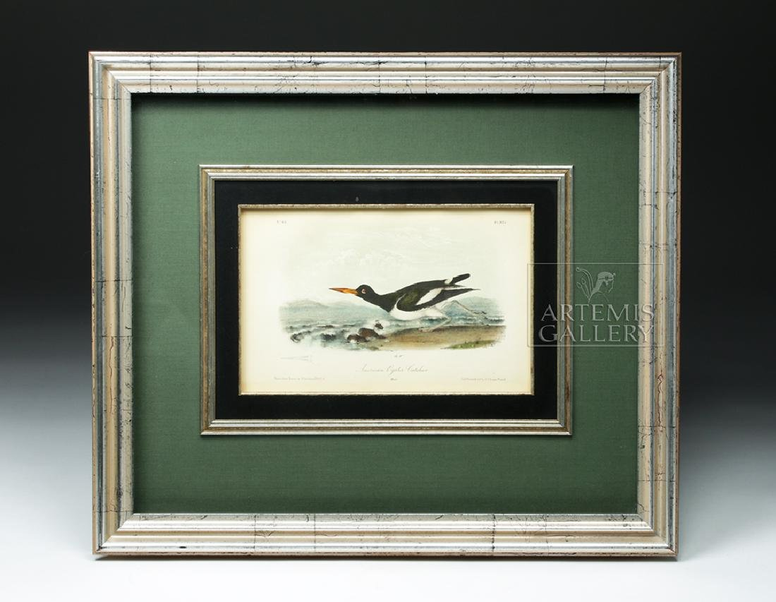 19th C. Audubon Lithograph - American Oyster-Catcher