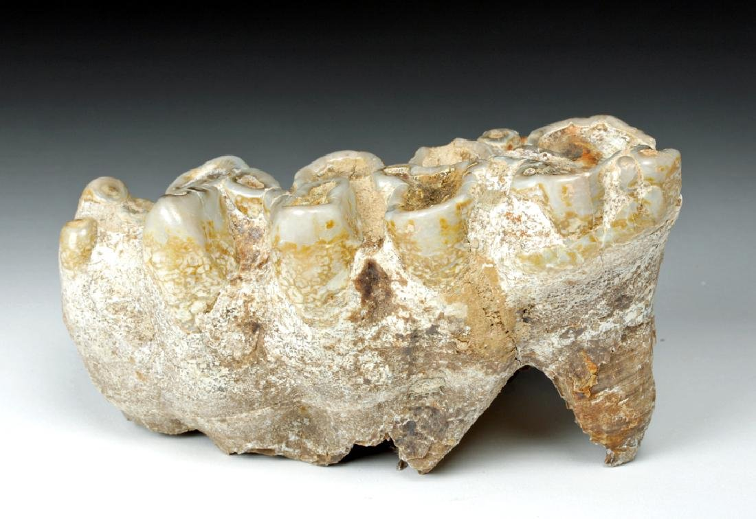 Nice Fossilized Mastodon Tooth - Ice Age