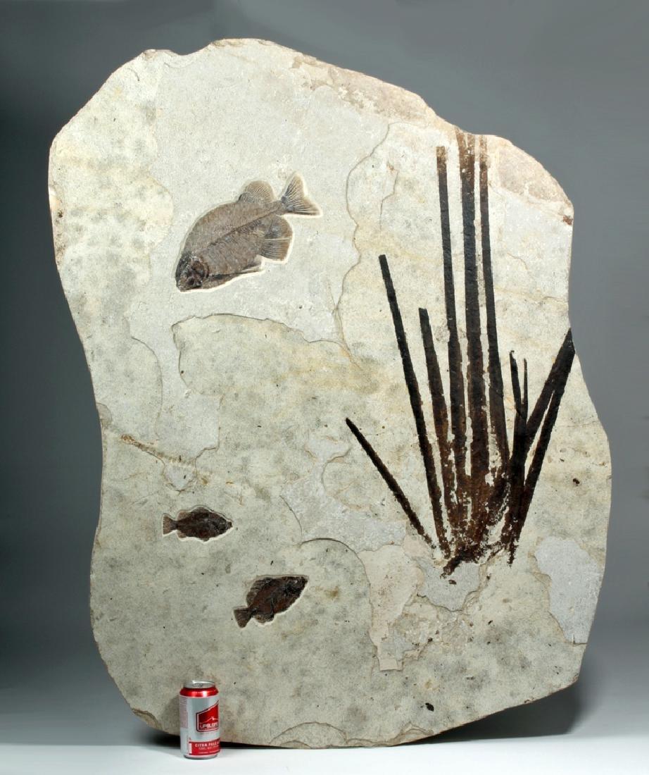 Huge Eocene Fish Fossil Slab