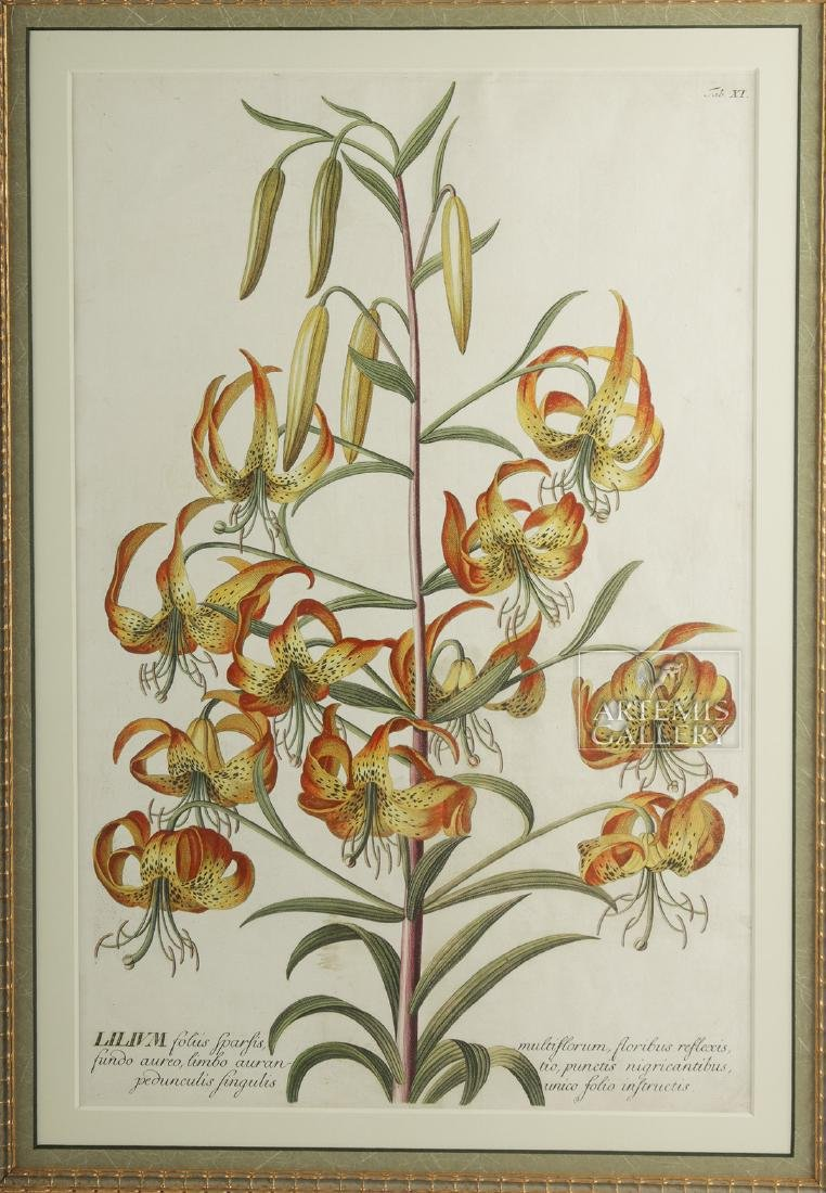 Framed Georg Dionysius Ehret Botanical Engraving, 1751 - 2