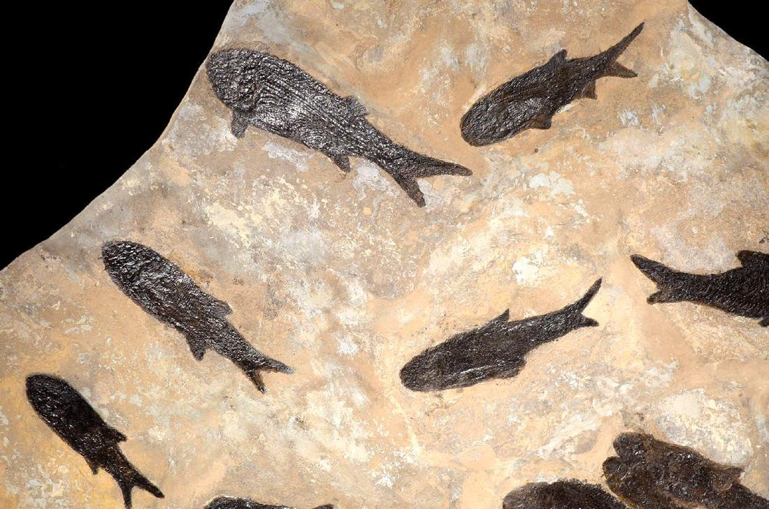 Large Group of Paramblypterus Permian Fish Fossils - 5