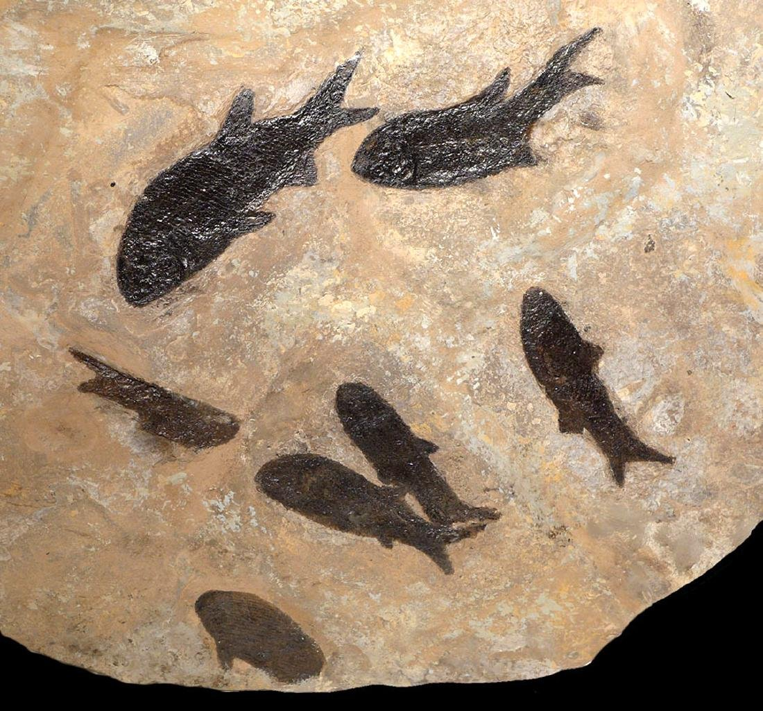 Large Group of Paramblypterus Permian Fish Fossils - 6
