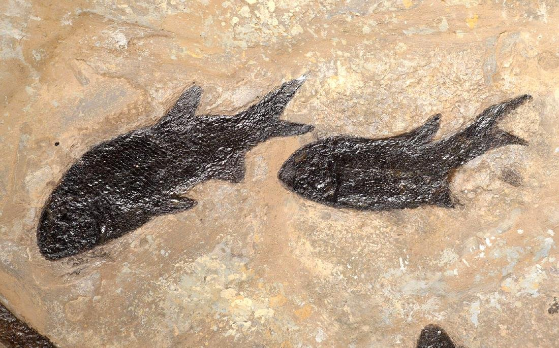 Large Group of Paramblypterus Permian Fish Fossils - 8