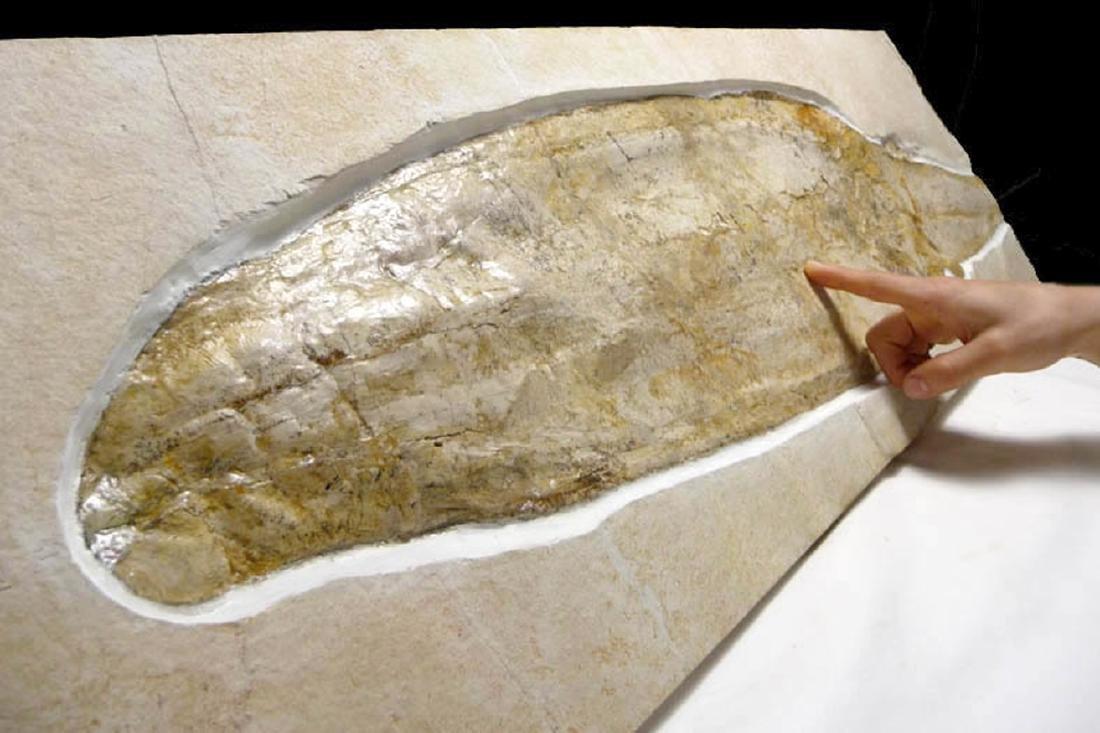 Rare Jurassic Solnhofen Giant Squid Fossil