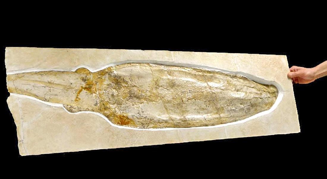 Rare Jurassic Solnhofen Giant Squid Fossil - 2