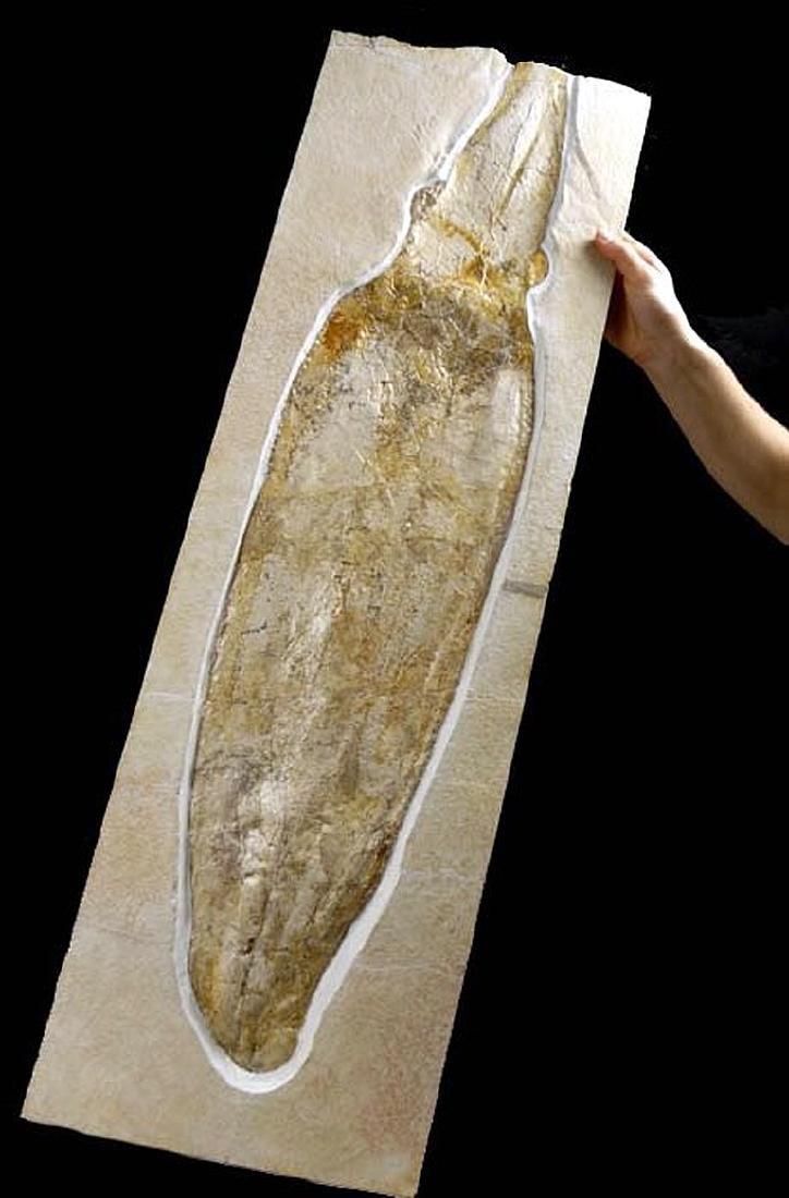 Rare Jurassic Solnhofen Giant Squid Fossil - 3