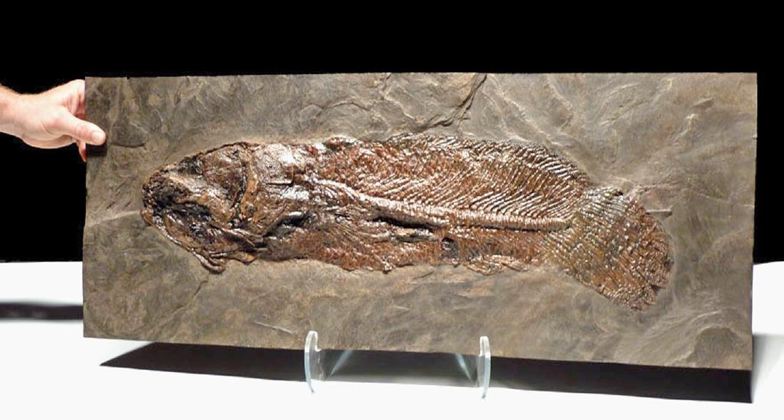 Enormous Eocene Mudfish Fossil from Messel Pit